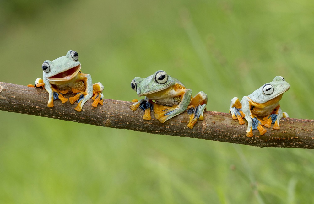 Frogs on the branch