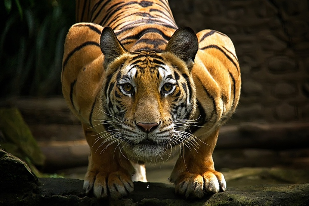 Секс с тигром фото 14 фотография