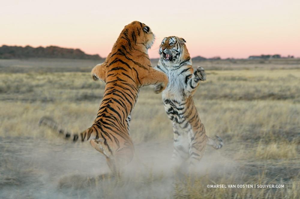 Tigers02
