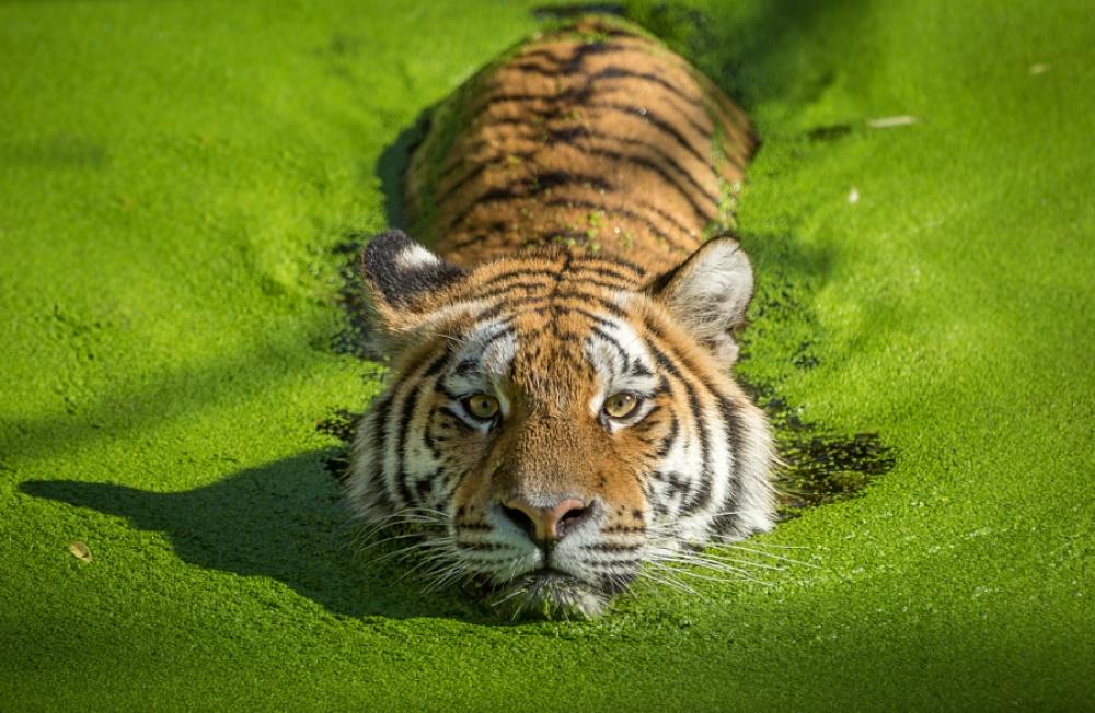 Tigers07