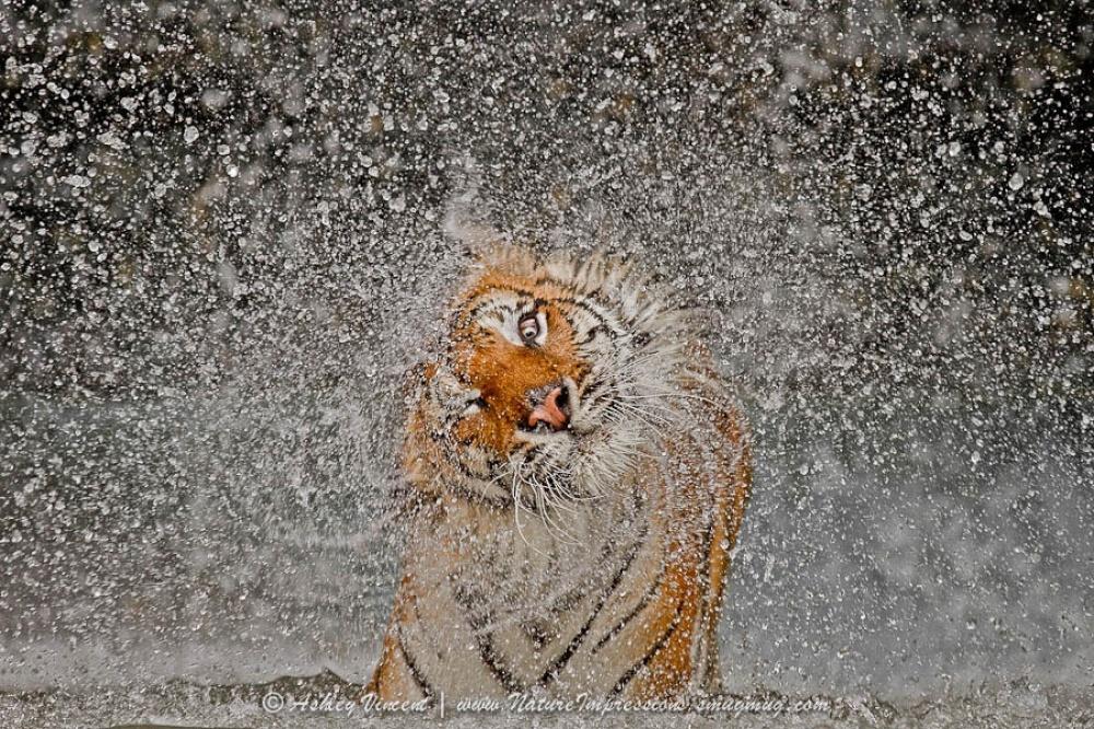 Tigers11