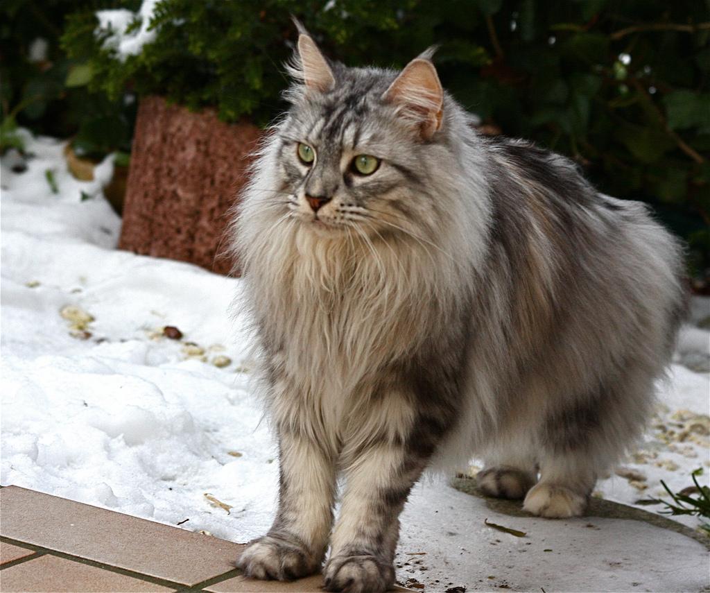 Самые дорогие домашние кошки порода
