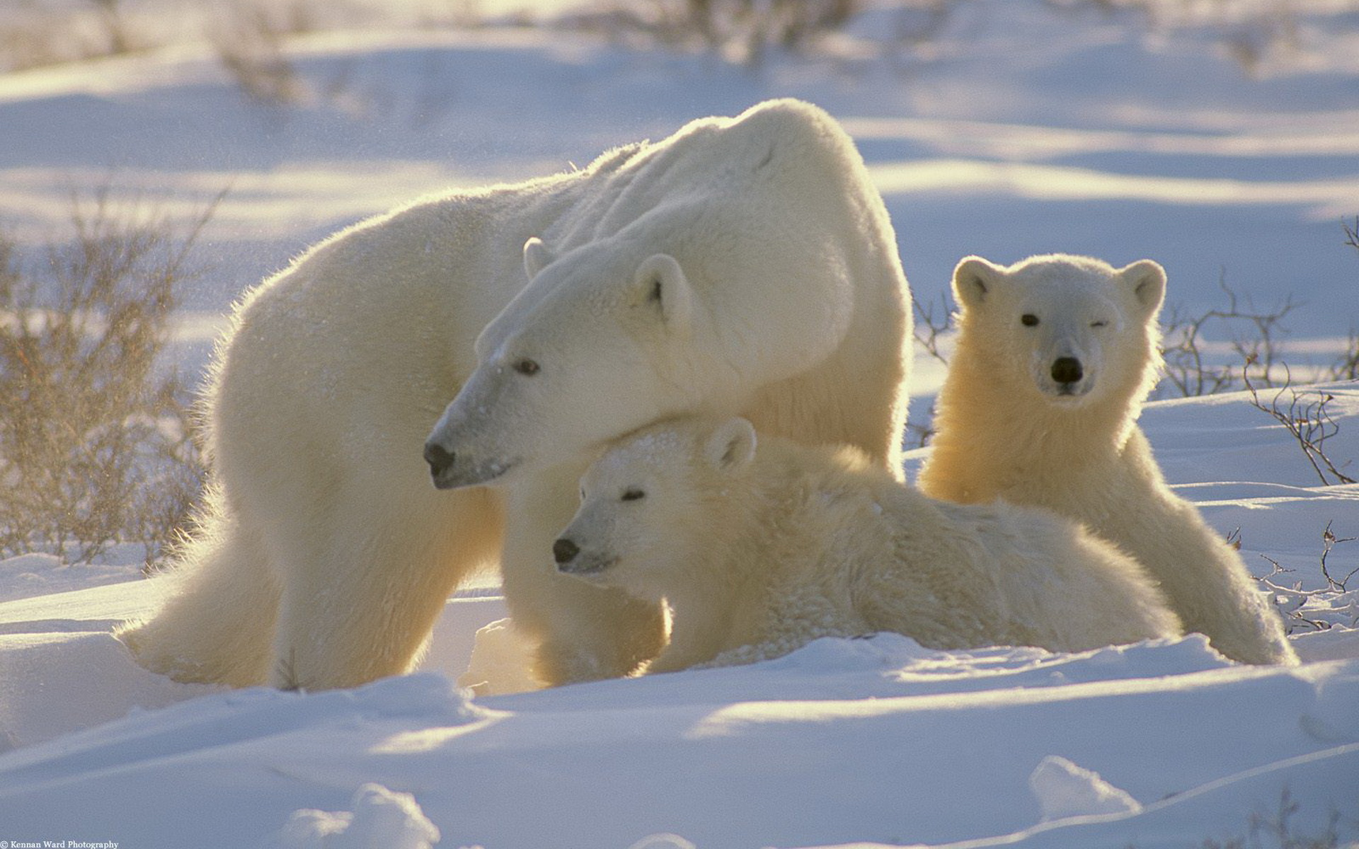 1300635417_polar-bears-2_nevseoboi.com.ua