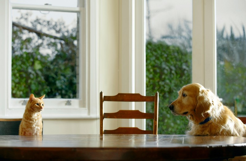 Ginger tabby cat and golden retriever sitting at dining table