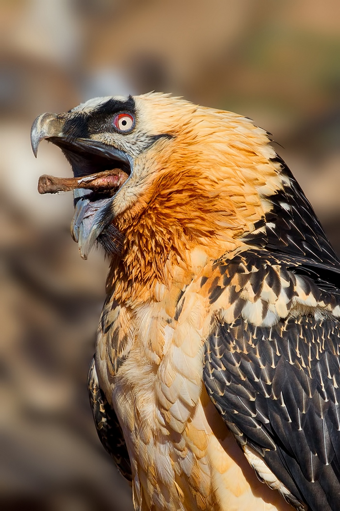 Lappet faced vulture head