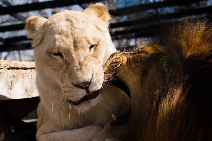 rescue-lions-love-kahn-sheila-in-sync-exotics-16