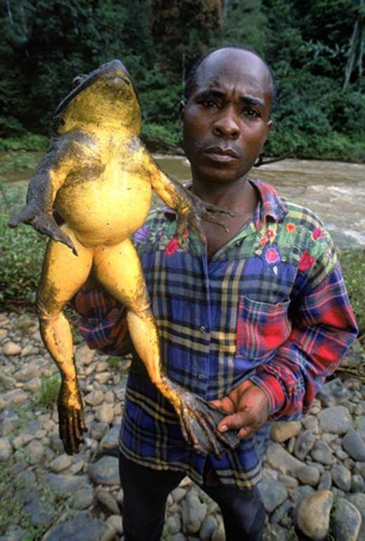 Frogs witch forward goliath frog goliat p142ochliwy najwi119ksza 17caba wwwpinterestcom
