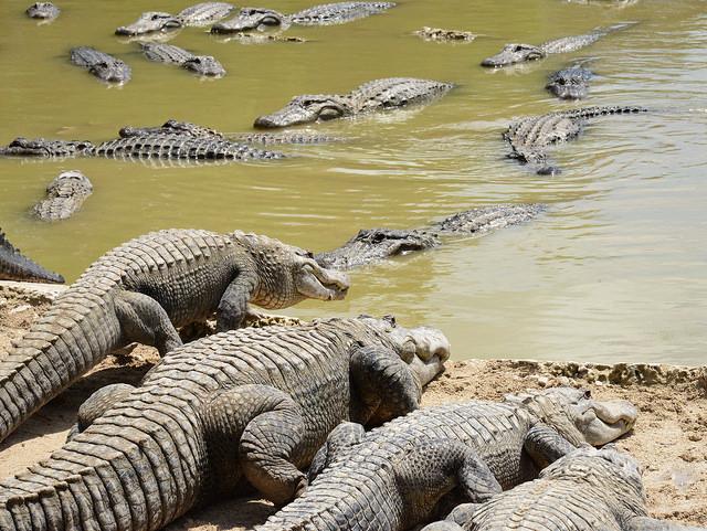 аллигаторы
