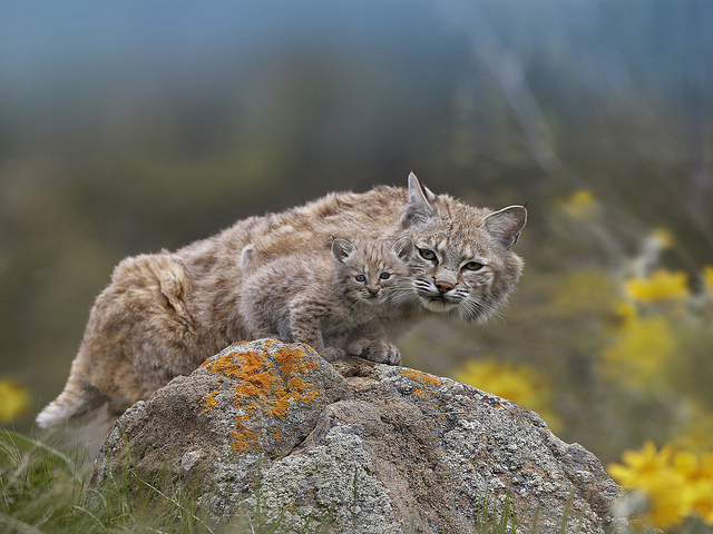 Bobcat Adult and Kitten