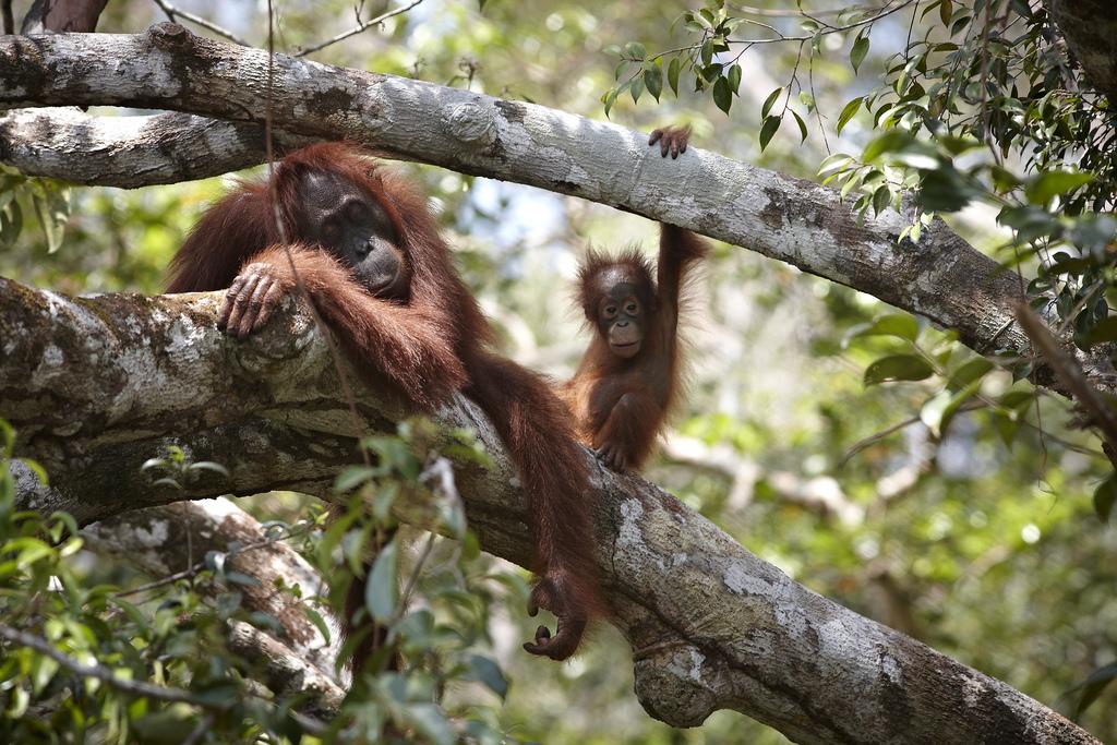 Орангутанг2