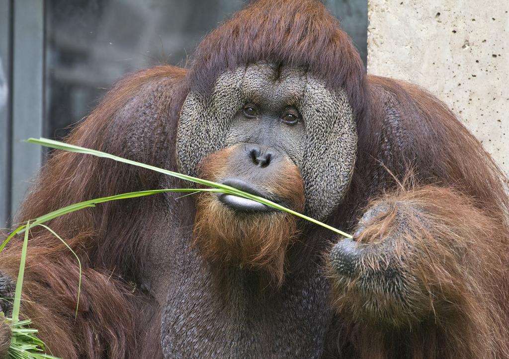 Орангутанг6