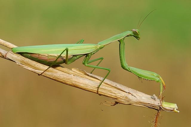 mantises1