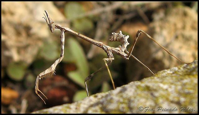 mantises3
