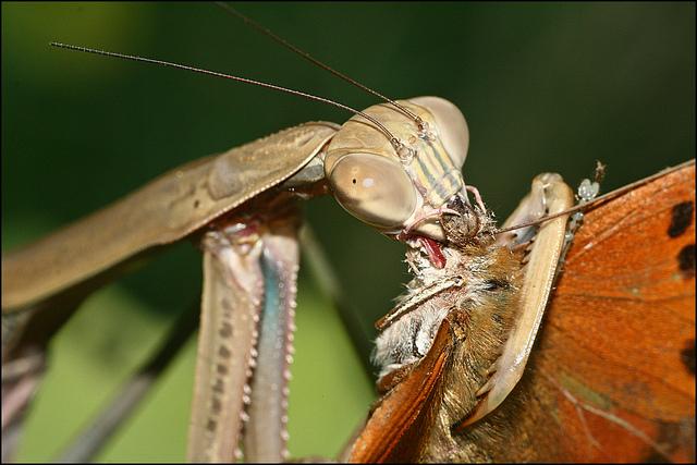mantises4