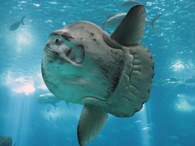 луна-рыба