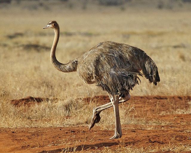 Крупнейшая в мире птица: страус