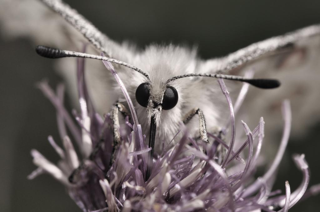 бабочка Апполон