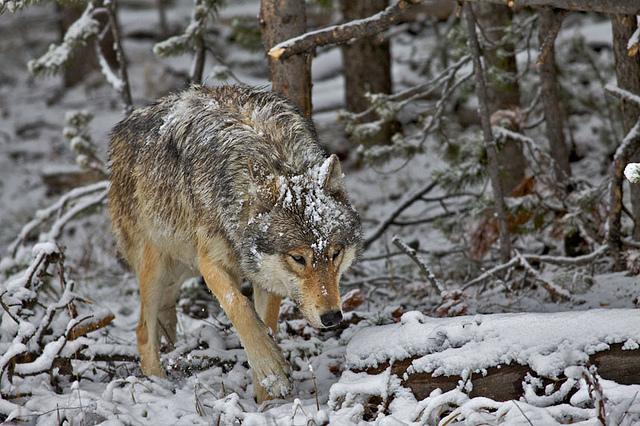 Grey Wolf, Yellowstone National Park