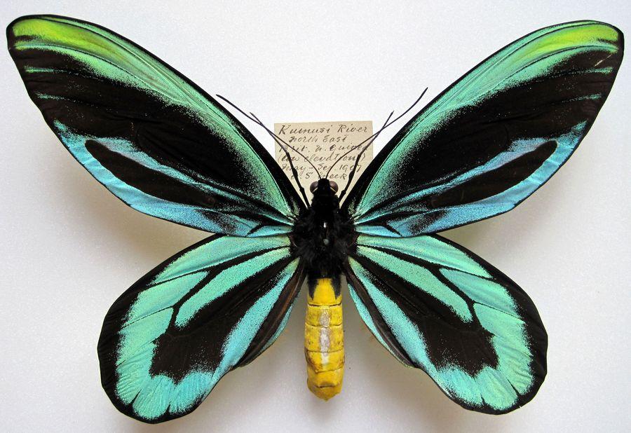 ornithoptera_alexandrae_m