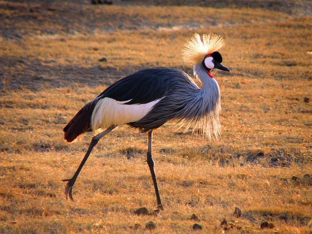 crowned crane backlit Crater NCA 17th jul 2011 db