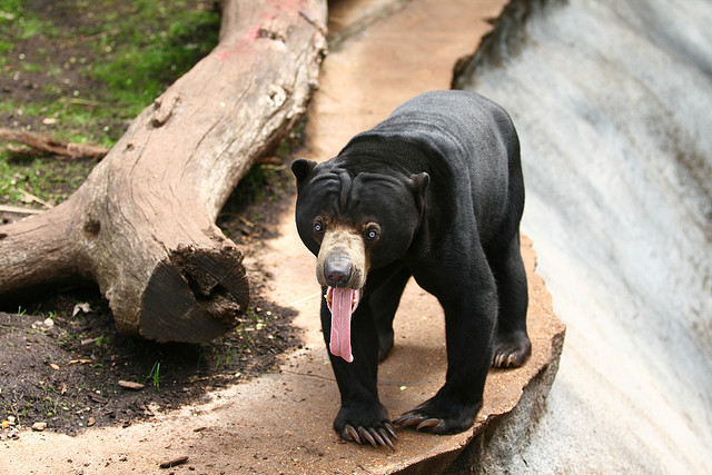 Malay bear