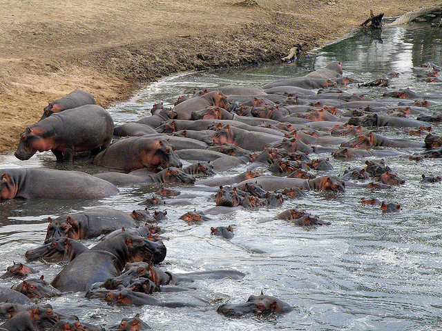 118 hippos in Grumeti R Kirawira 20 jul 2011 db