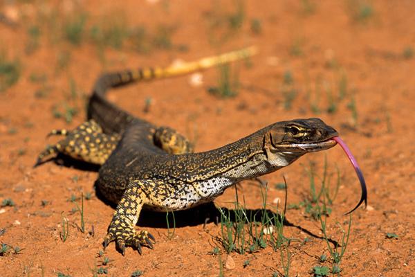 lizard Gould
