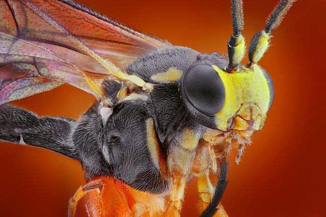 Особенности развития осы