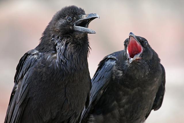 ravens desert