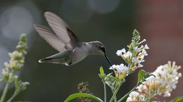 Bird hummingbird