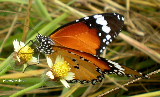 Danaida monarch