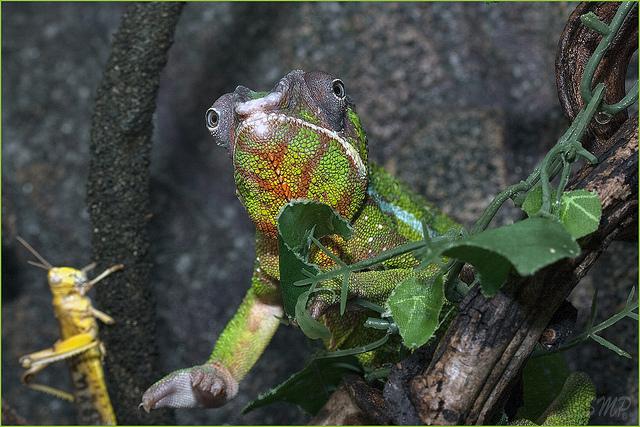 Panterovy chameleon