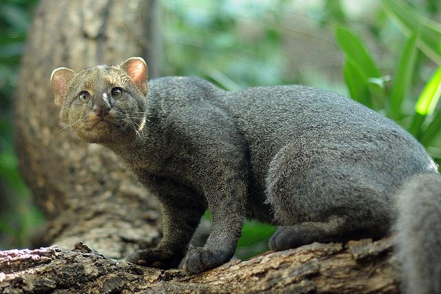 Ягуарунди - Удивительный Мир Животных
