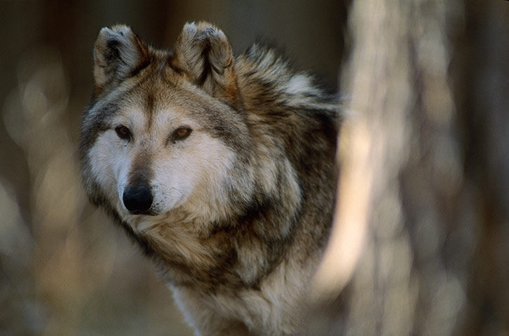 A captive Mexican gray wolf, the rarest wolf in North America.