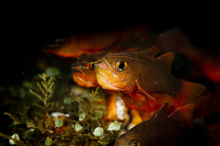 A male cardinal fish incubating eggs in its mouth, Lembeh Strait, Indonesia
