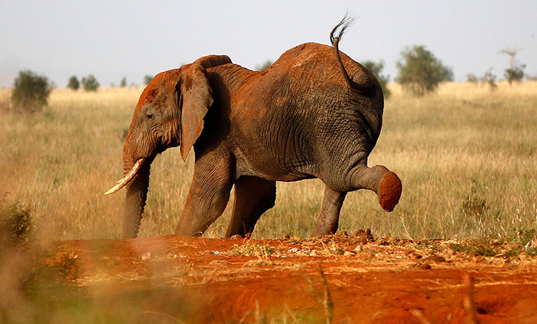 An elephant stretches at the Tsavo West national park