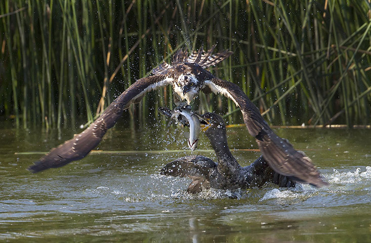 Cormorant steals trout from osprey
