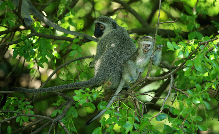 Monkeys look on from the trees in Durban