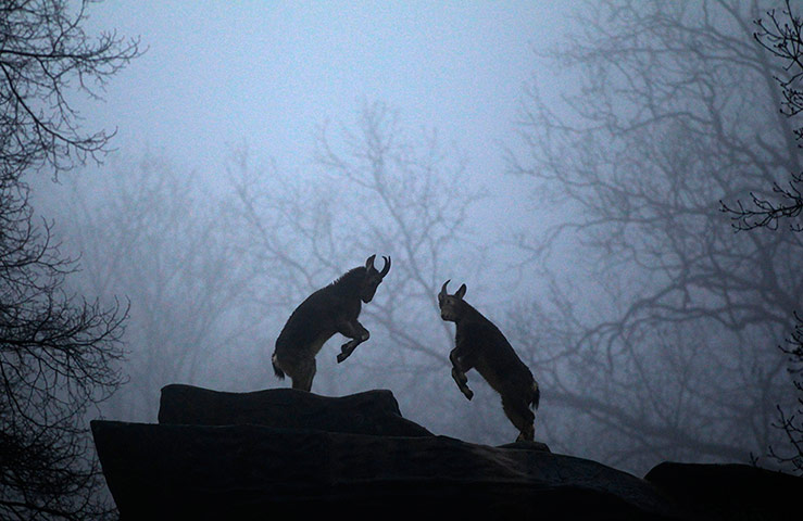 Mountain goats fight in their enclosure at the zoo in Wuppertal