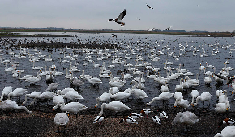 Thousands of Whooper swans at the Martin Mere wetlands