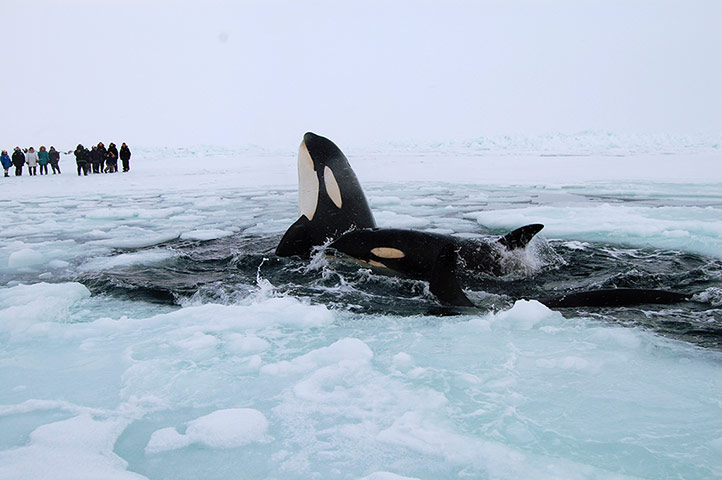 Three killer whales trapped in ice in Hudson Bay
