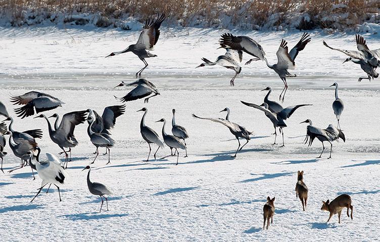 Winter Wildlife in Cheorwon County