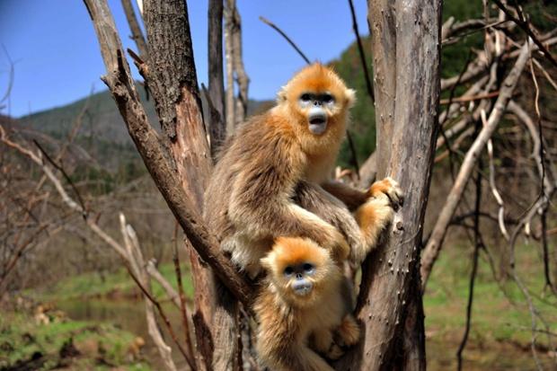 Золотые обезьянки