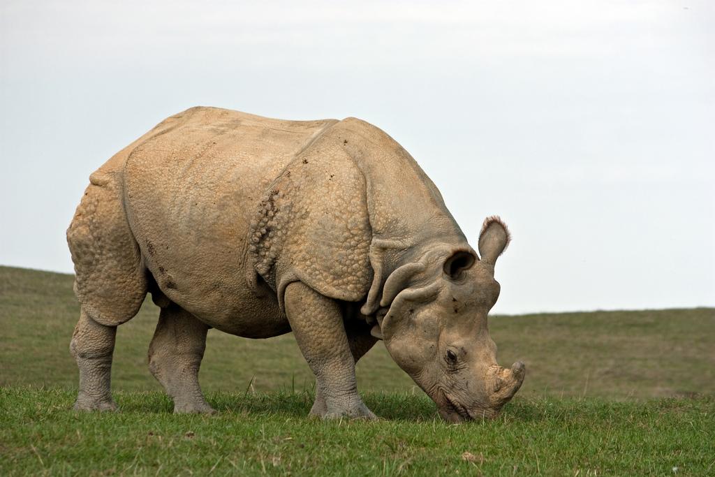 панцерный носорог