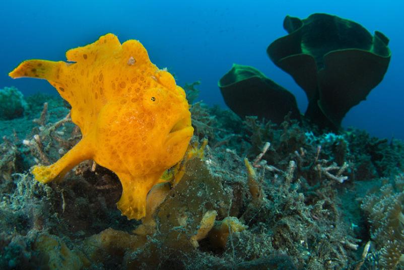 Оранжевая рыба-жаба