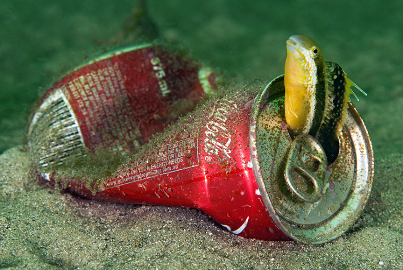 Саблезубая морская собачка