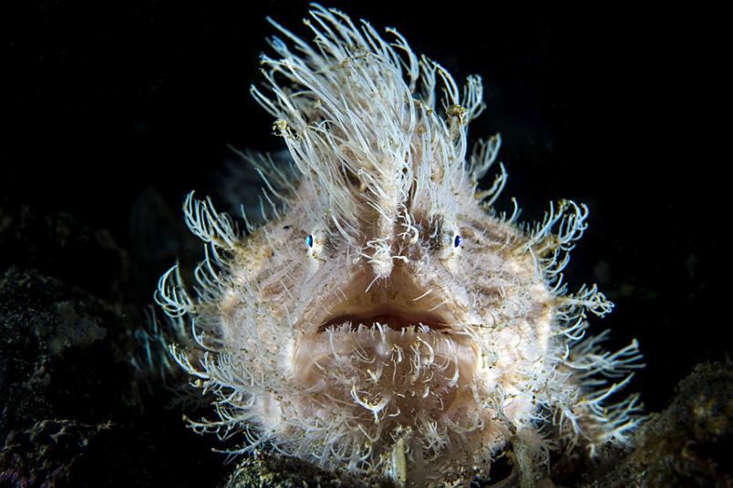 Волосатая рыба-жаба