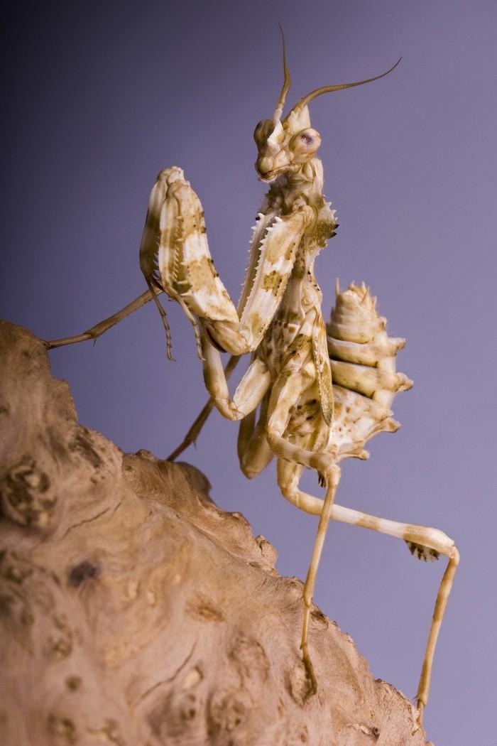 mantis10