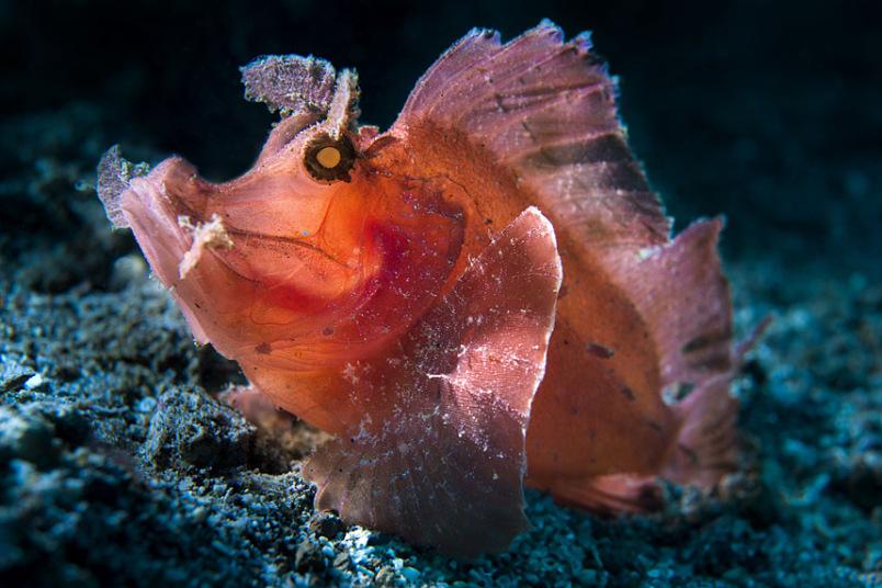 рыба скорпион