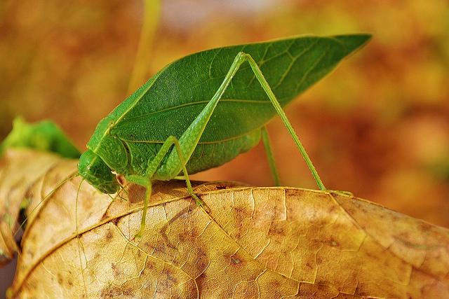 Лист зеленый кузнечик